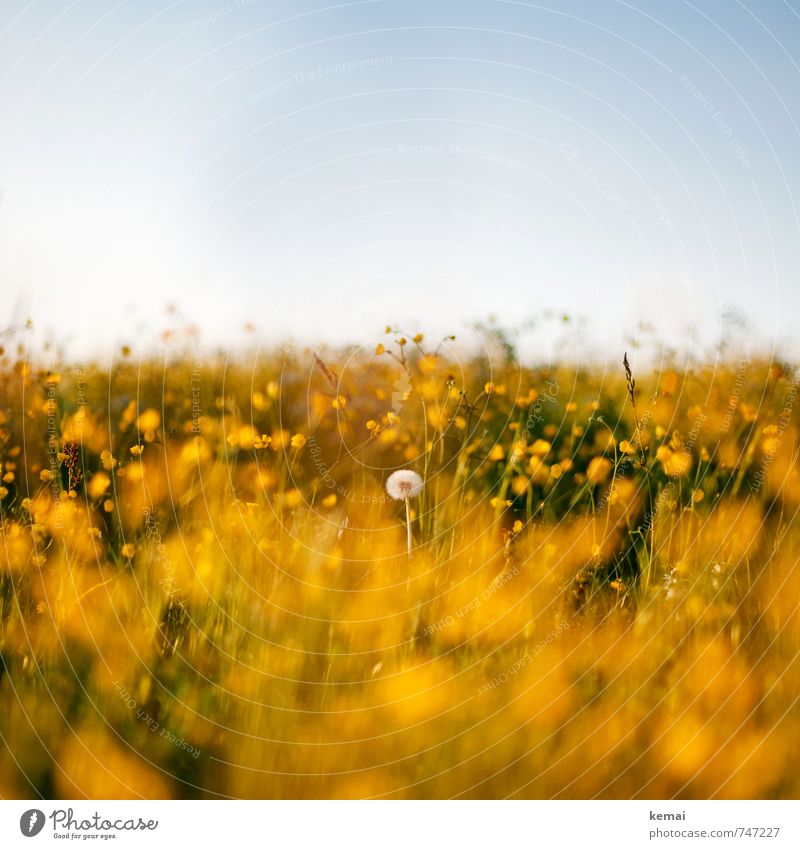 Load dandelion standing Environment Nature Landscape Plant Sky Cloudless sky Sunlight Spring Summer Beautiful weather Warmth Flower Blossom Foliage plant