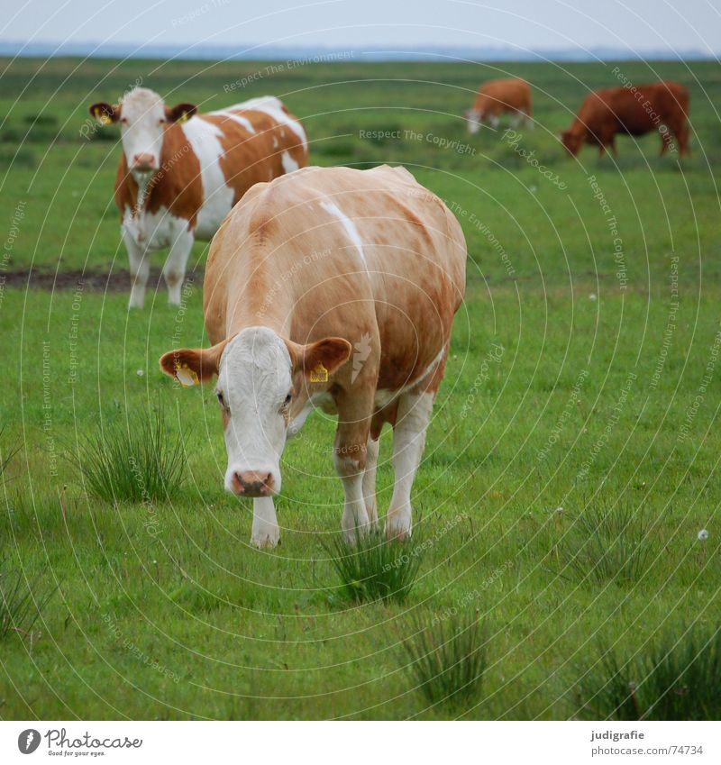 World of health Cow Cattle Meadow Grass Green Juicy Brown White Pelt Healthy Dairy Nutrition Agriculture tufts Sky Looking Food