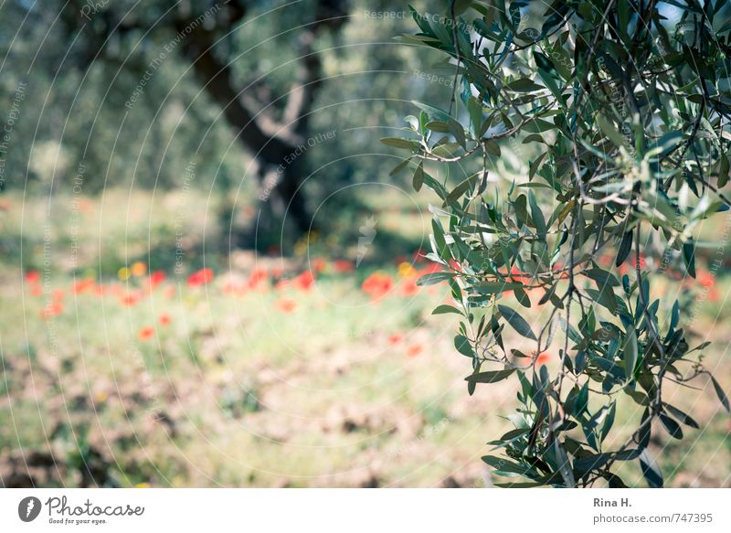 Olive tree Agriculture Forestry Nature Spring Beautiful weather Tree Flower Field Authentic Olive leaf olive branch Poppy Olive grove Colour photo Exterior shot