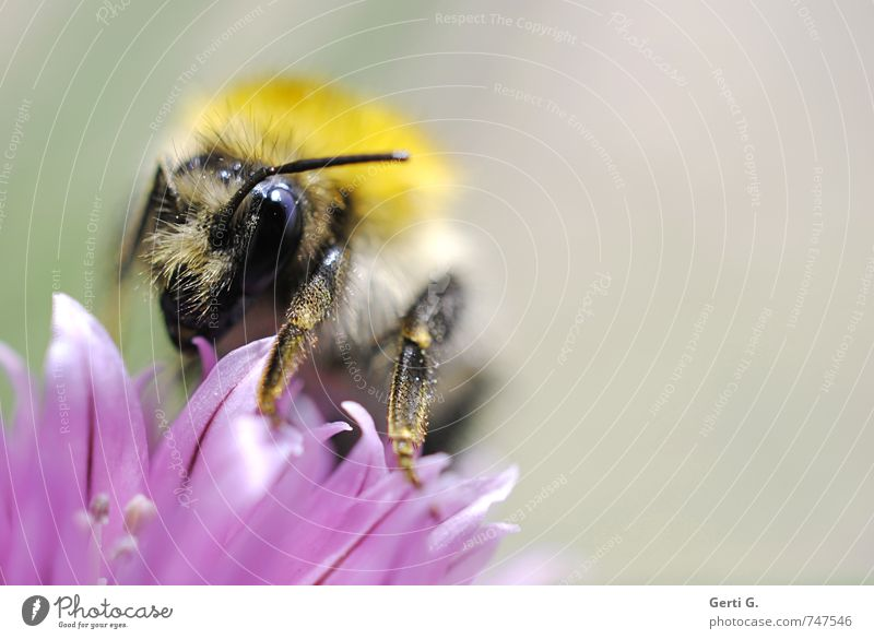 thick bumblebee on chive blossom Animal Bee Bumble bee Insect 1 Fat Gigantic Near Soft Yellow Violet Determination Conscientiously Appetite Esthetic Concentrate