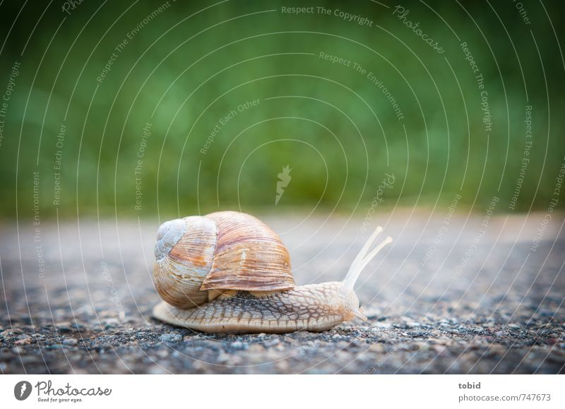 but now quickly ... Asphalt Street Animal Snail 1 Running Glittering Speed Nature Slowly Crawl Vineyard snail Snail shell Colour photo Exterior shot Blur