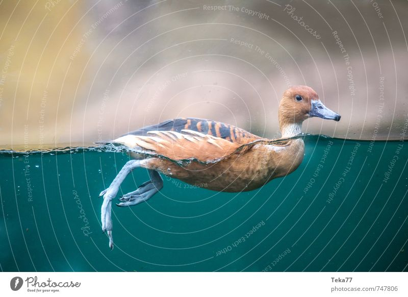 Nature Landscape Animal Environment Swimming & Bathing Wild animal Authentic Dive Duck Surface of water Flexible Honest
