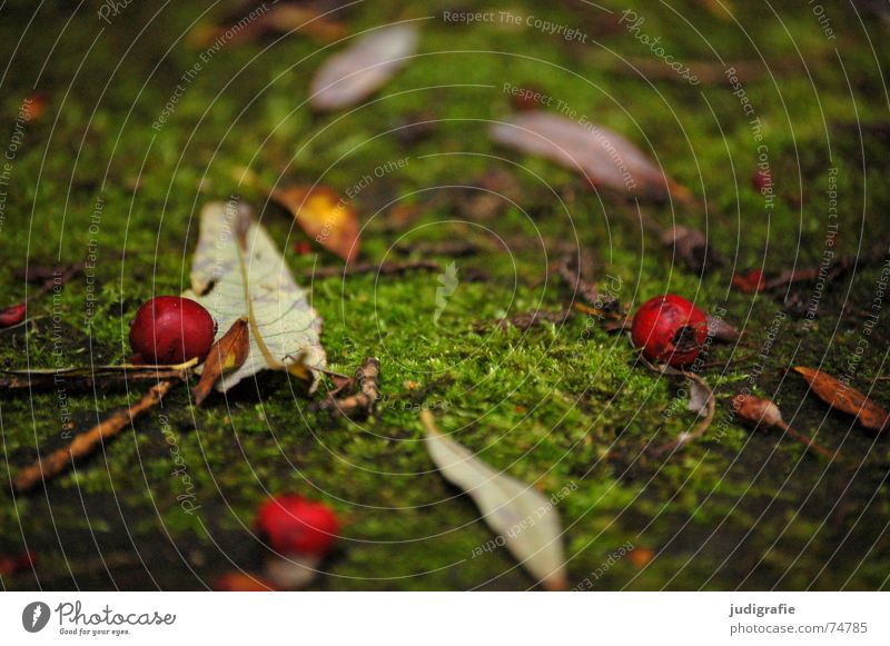 Autumn Leaf Red Green Colour Autumnal Berries Pasture Nature Like on the ground Come to an end Death Dog rose