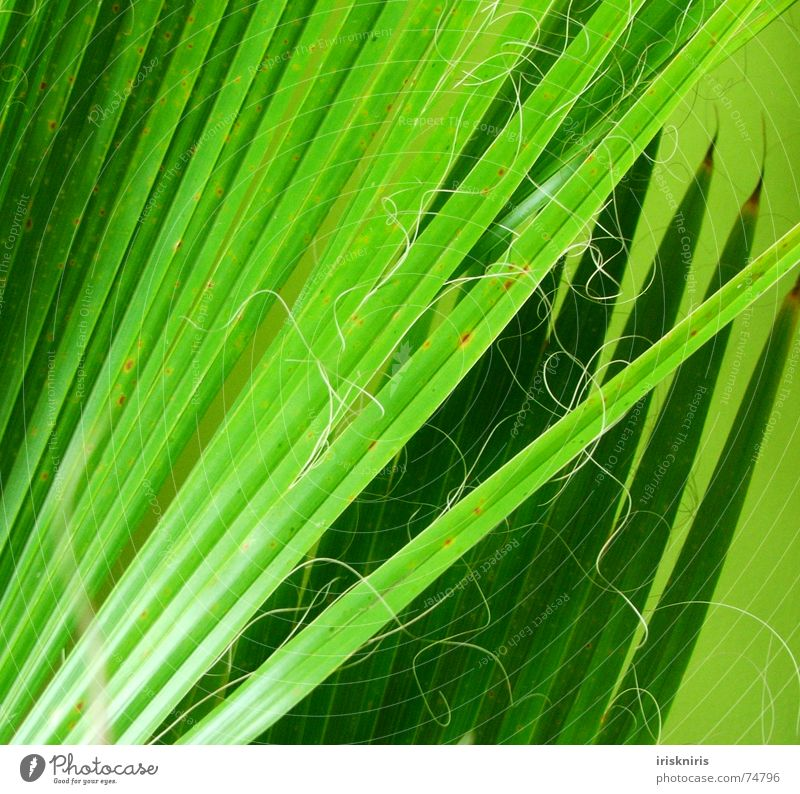 palm fronds Palm frond Palm tree Plant Green Living room Muddled Glittering Grass green Dry Exotic Twig Nature Detail Line Point Sewing thread wag