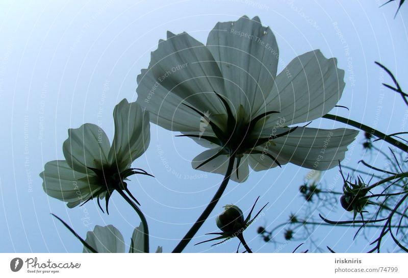 White Flower Plant Blossom Stalk Bud Blossom leave