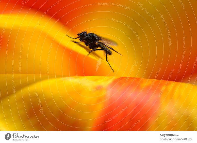 Puck ... the housefly Fly 1 Animal To enjoy Yellow Red Black Watchfulness Serene Calm Colour photo Macro (Extreme close-up) Day