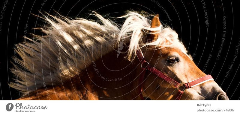 3-weather taffeta Horse Haflinger Mane Horse's head Power Movement Horse's gait Running