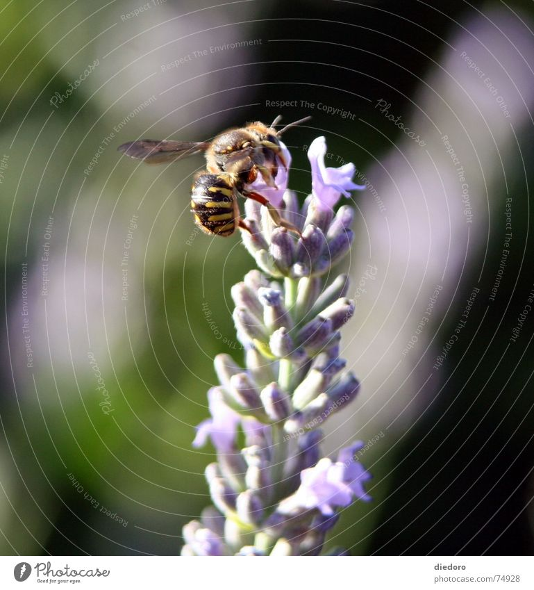 Summer Blossom Fragrance Lavender Bumble bee