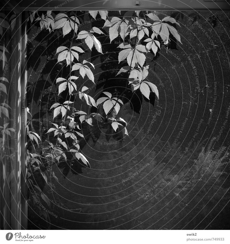liana Plant Ivy Foliage plant Window Hang Growth Tendril Window pane Reflection Gauze Black & white photo Deserted Copy Space right Copy Space bottom Evening