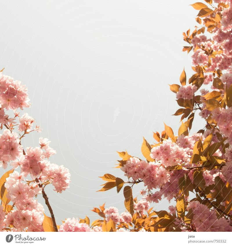 Cherry blossoms II Harmonious Well-being Nature Plant Cloudless sky Spring Beautiful weather Warmth Tree Blossom Blossoming Growth Fresh Bright Kitsch Pink