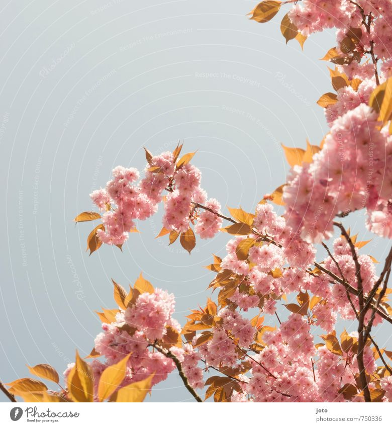 Cherry blossoms I Harmonious Well-being Nature Plant Cloudless sky Spring Beautiful weather Tree Blossom Branch Fresh Kitsch Pink Fragrance Relaxation Idyll