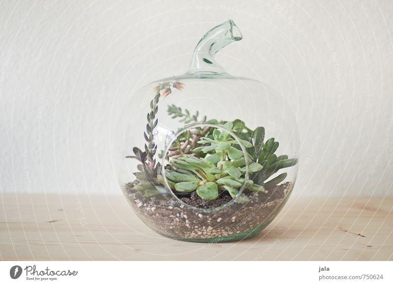 succulent Living or residing Flat (apartment) Decoration Plant Pot plant Succulent plants Esthetic Elegant glass apple Greenhouse Colour photo Interior shot
