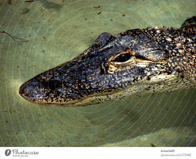 Water Calm Eyes Wait Reptiles Animal Armor-plated Alligator