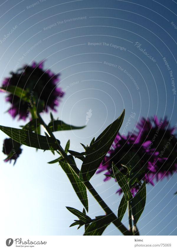 Sky Flower Blue Plant Summer Blossom Spring Violet