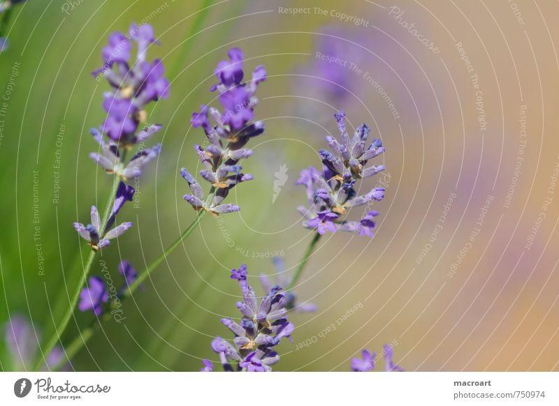 spring Lavender floats Flower Blossom Violet Fragrance Odor Summer Blossoming Comforting Medicinal plant Medication Alternative medicine Annoy Soul Healthy