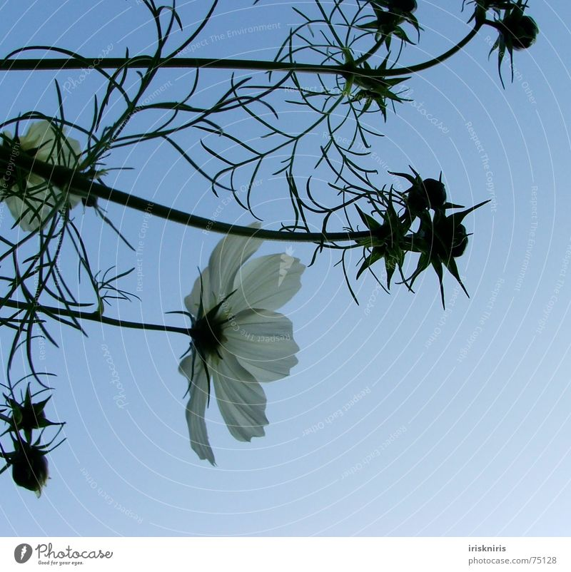 Flower Plant Summer Calm Blossom Wind Star (Symbol) Blossoming Traffic infrastructure Dusk Bud Progress Cosmos Evening sun