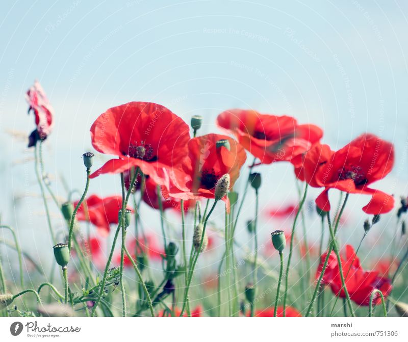 summer meadow Nature Landscape Plant Summer Flower Red Poppy Flower meadow Blossoming Summery Poppy capsule Colour photo Exterior shot Day