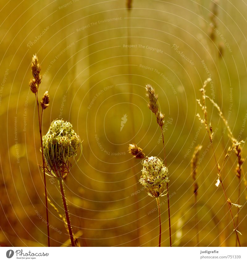 meadow Environment Nature Plant Summer Grass Blossom Wild plant Meadow Growth Fragrance Natural Warmth Brown Yellow Gold Moody Transience Colour photo