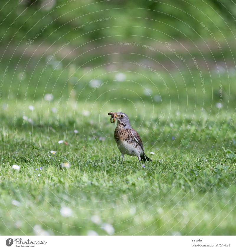 HAVE YOU Nature Animal Spring Grass Meadow Wild animal Bird Worm Turdus Pilaris 1 2 To hold on To feed Gray Green Food Foraging Looking Prey Colour photo