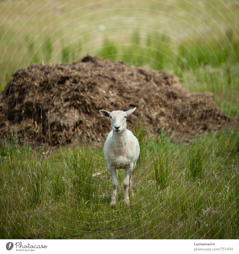 Animal Meadow Natural Funny Small Stand Happiness Wait Large Observe Friendliness Agriculture Sheep Rural Pride Forestry