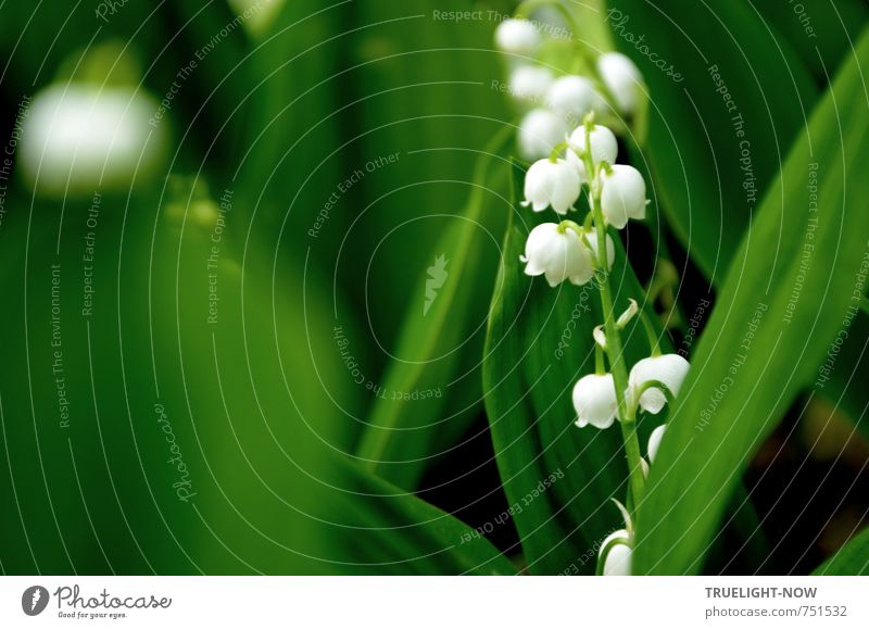 Lily of the Valley ringing in a bell Nature Plant Spring Flower Leaf Blossom Foliage plant Wild plant Garden Forest Bouquet Blossoming Esthetic Fragrance