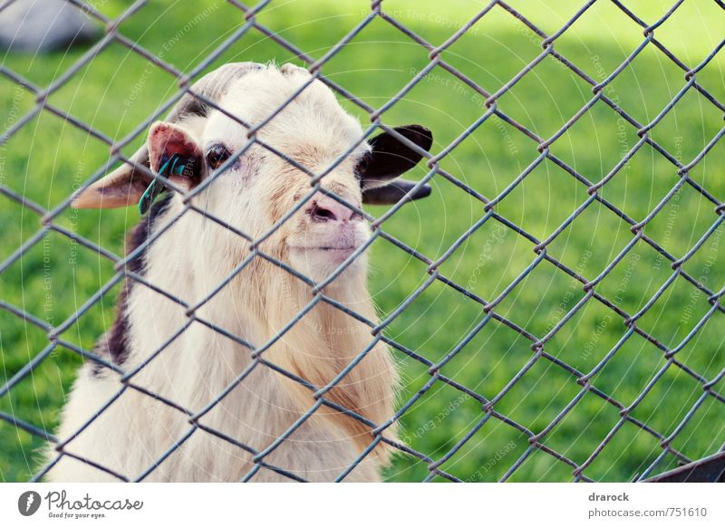 old goat Animal Farm animal Animal face Zoo 1 Old Think Observe Goats Green Brown Half-profile Barrier Wire fence Fence Cage Captured Net Unreachable Grass