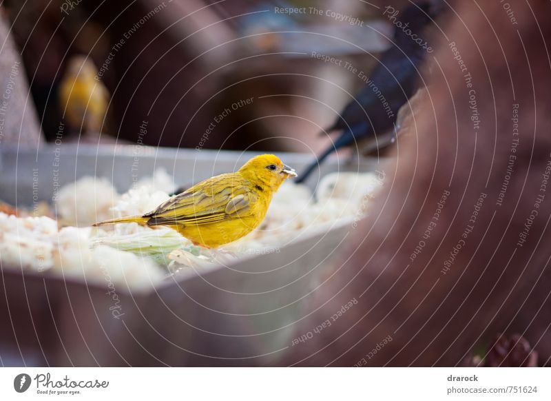 bird eating Animal Yellow Eating Bird Food photograph Wild animal Feather Wing Zoo Thief