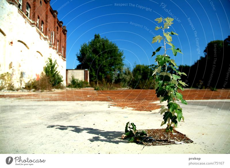 Little Goliath Tree Leaf Tumbledown Green Brave Plant Ruin White Outsider Insolvency Sky Blue Stone Earth little tree abandoned building site hope