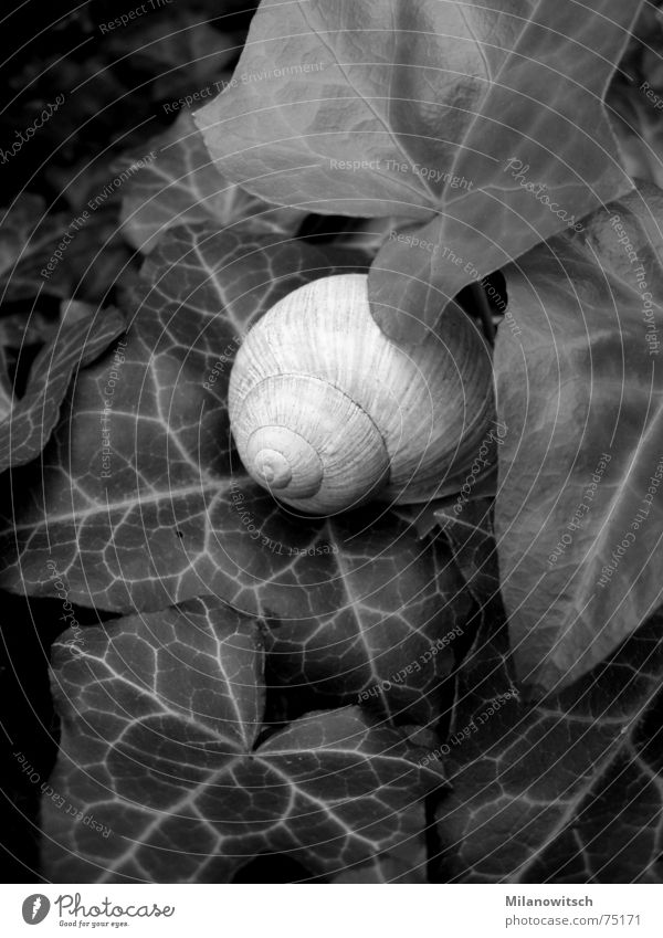 covert Ivy Snail shell Leaf Black & white photo Nature Plant Hide