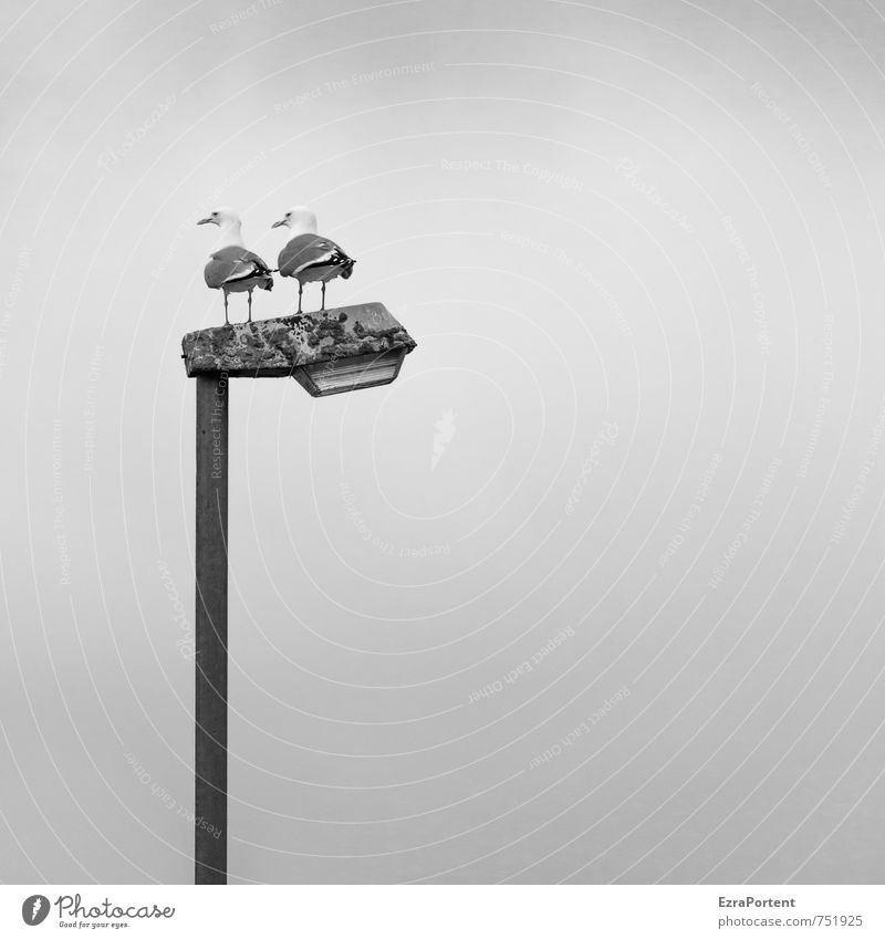 double perspective Vacation & Travel Sky Animal Bird 2 Pair of animals Looking Black White Seagull Lamp post In pairs Considerable Stand Vantage point