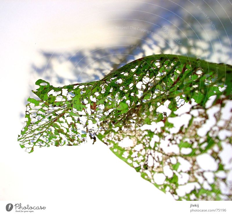 Nature Old Green Plant Leaf Autumn Movement Waves Soft Delicate Hollow Transparent Vista Limp Airy Rotated
