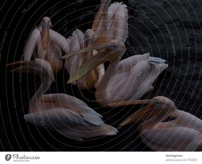 Water Animal To talk Bird Pink Speech Beak Fisherman Feeding Pelican
