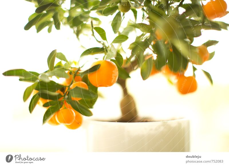 kumquats Food Nature Summer Plant Tree Leaf Foliage plant Bright Colour photo Interior shot