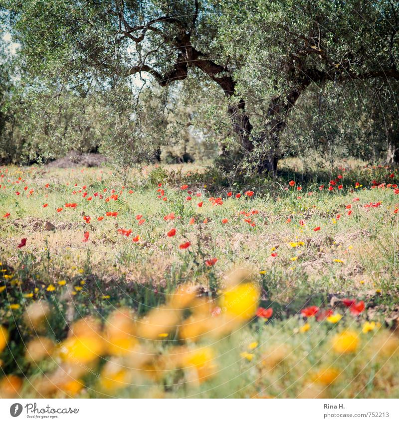 Flowers and olives Agriculture Forestry Nature Landscape Plant Spring Beautiful weather Tree Grass Meadow Field Blossoming Dry Joie de vivre (Vitality)
