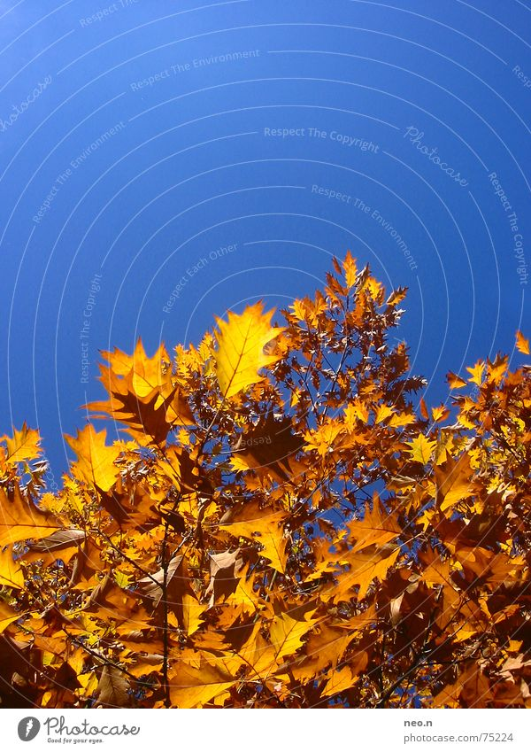 Sky Blue Tree Colour Leaf Forest Autumn Orange Gold Cloudless sky Treetop Maple tree