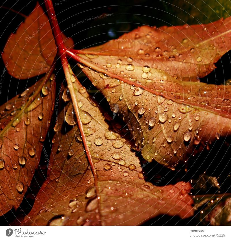 Tree Red Leaf Autumn Rain Drops of water Colouring