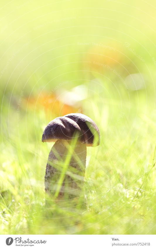 sunbath Nature Plant Autumn Beautiful weather Grass Mushroom Meadow Bright Small Delicious Brown Yellow Green Colour photo Multicoloured Exterior shot Close-up