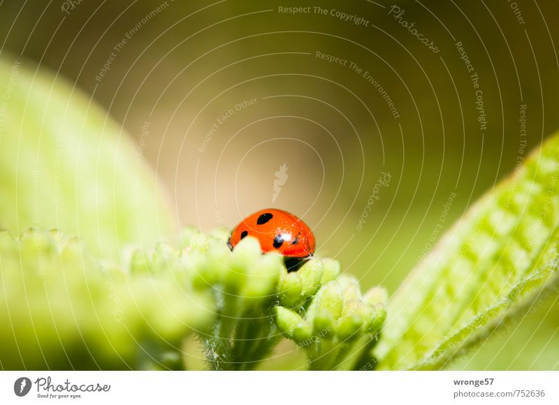 Another beetle Animal Bushes Leaf Blossom Garden Wild animal Beetle Ladybird 1 Small Near Beautiful Green Red Black Insect Leaf green Bud