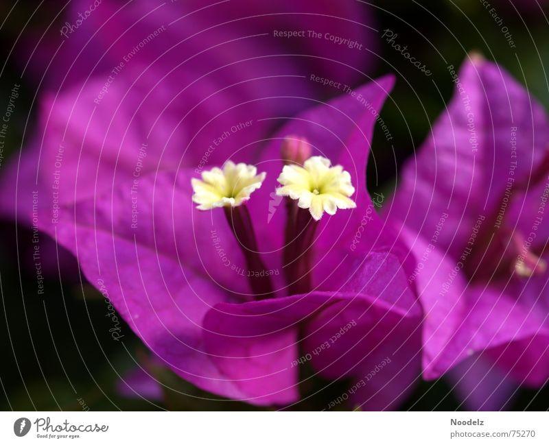 Nature Flower Plant Blossom Violet Fragrance Bud