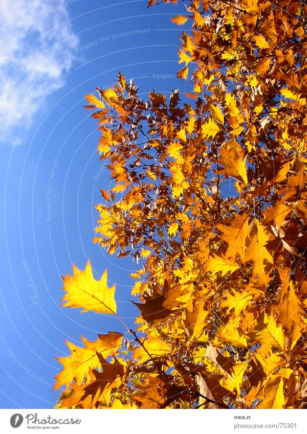 Sky Nature Blue Tree Colour Clouds Leaf Forest Autumn Orange Gold Beautiful weather Cloudless sky