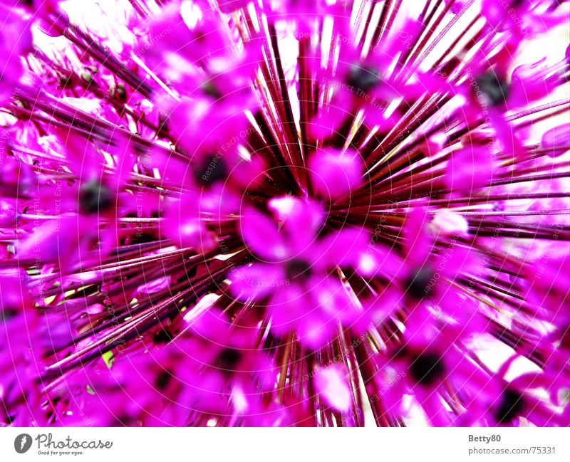 To the core of the matter Flower Blossom Violet Pink Spring Summer Gaudy Macro (Extreme close-up) Close-up Detail Nature Multicoloured