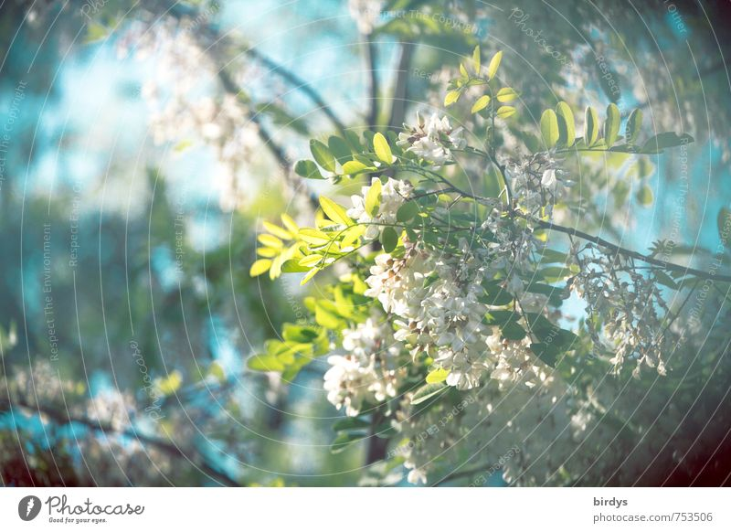 sweet-smelling Robinia Nature Plant Sky Spring Summer Tree Branch Leaf Blossom Acacia Blossoming Fragrance Esthetic Natural Positive Blue Green Turquoise White