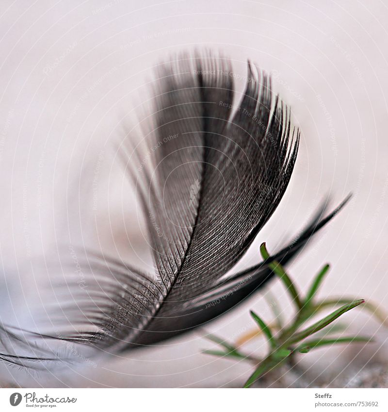 softly landed Nature Ease Feather Smooth Easy Black Beige Disheveled Airy Fine Delicate Bright background Blur Macro (Extreme close-up) Colour photo