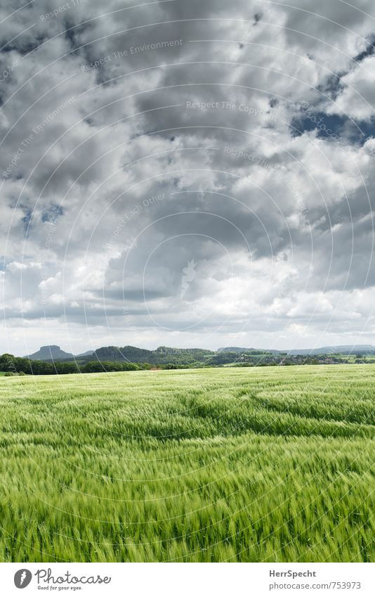 Barley field Landscape Sky Clouds Horizon Spring Plant Agricultural crop Barleyfield Barley ear Fresh Juicy Gray Green Saxony Tractor track Clouds in the sky