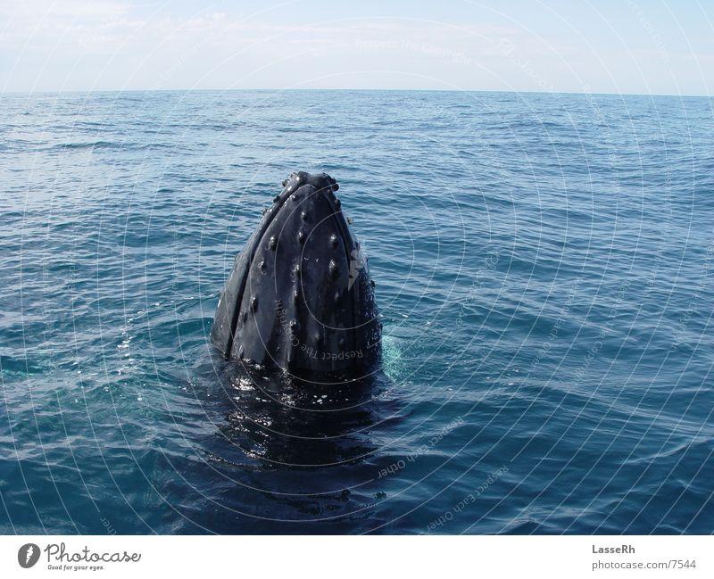 Curious whale Whale Near Ocean Pacific Ocean Australia whale watching