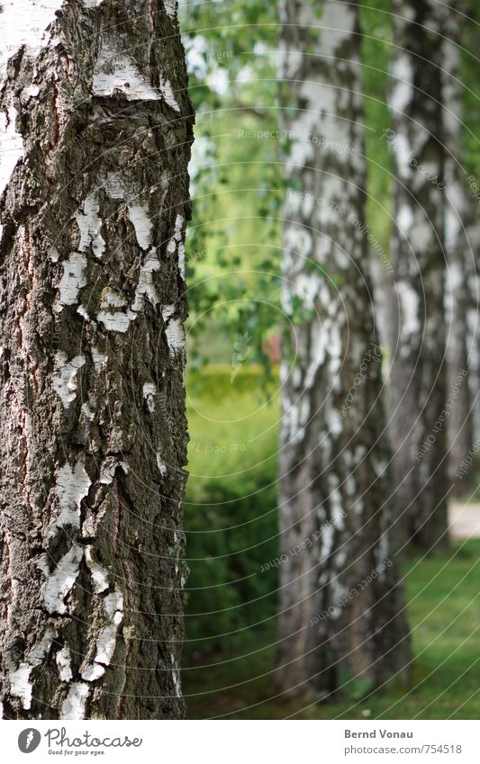 4-piece wardrobe Tree Grass Bushes Park Bright Green White Tree bark Birch tree Contrast Group of objects Row Wood Structures and shapes Direct Vertical