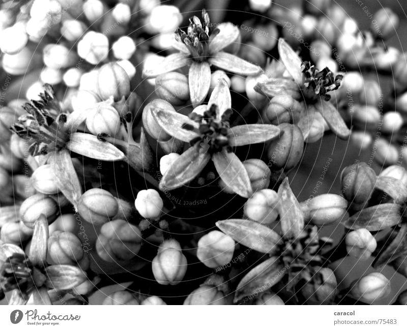 White Flower Black Jump Blossom Spring Garden Gray