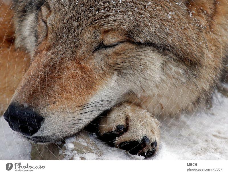 SLEEP Wolf Mongolia Dangerous Sleep Doze Relaxation Winter Cold Snout Paw Mongolian mongolian wolf Wild animal recharge one's batteries gather strength Snow