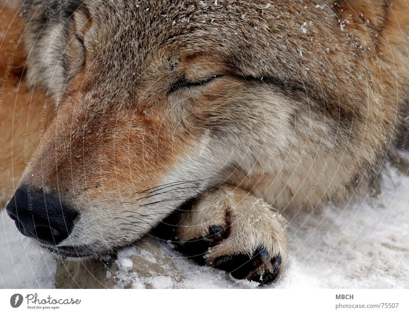 Winter Relaxation Cold Snow Sleep Dangerous Wild animal Paw Snout Wolf Animal Doze Mongolia