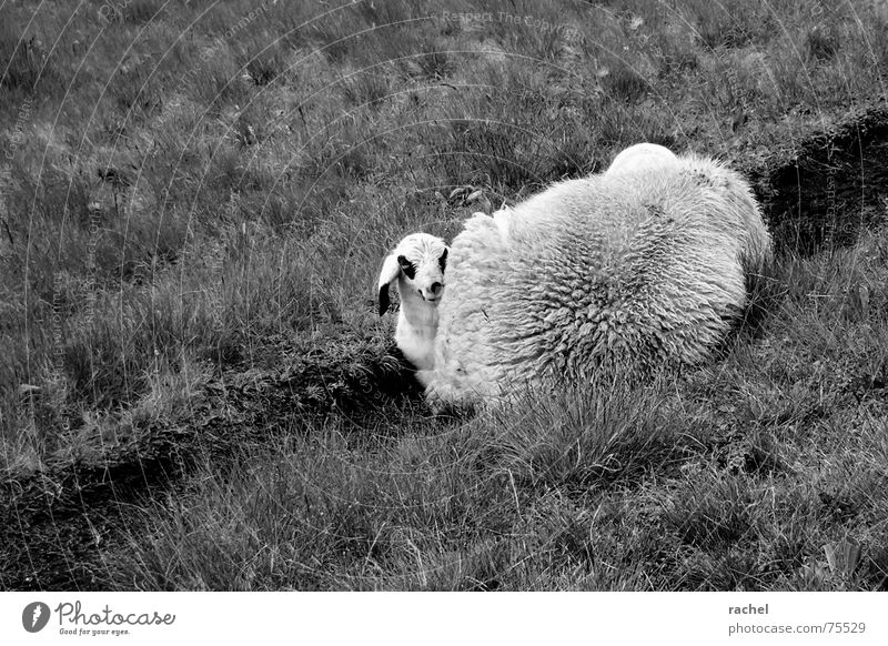 White Animal Black Calm Meadow Warmth Grass Mouth Safety Break Cute Easter Soft Curiosity Pelt Protection